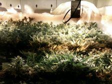 Plantació de Marihuana incautada